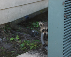 Raccoon removal and control Charlottesville VA