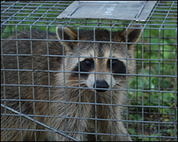 Charlottesville wildlife trapping